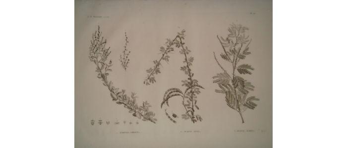 description de l 39 egypte botanique atriplex coriacea acacia seyal acacia albida histoire. Black Bedroom Furniture Sets. Home Design Ideas
