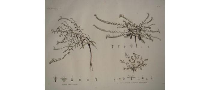 description de l 39 egypte botanique echium prostratum echium setosum anchusa spinocarpos. Black Bedroom Furniture Sets. Home Design Ideas