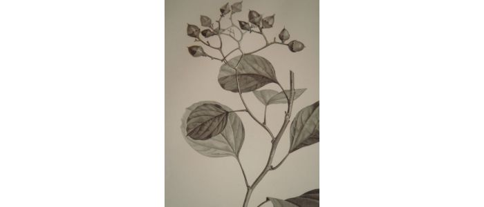 description de l 39 egypte botanique cordia myxa en fruit cordia myxa en fleur echium rawolfii. Black Bedroom Furniture Sets. Home Design Ideas