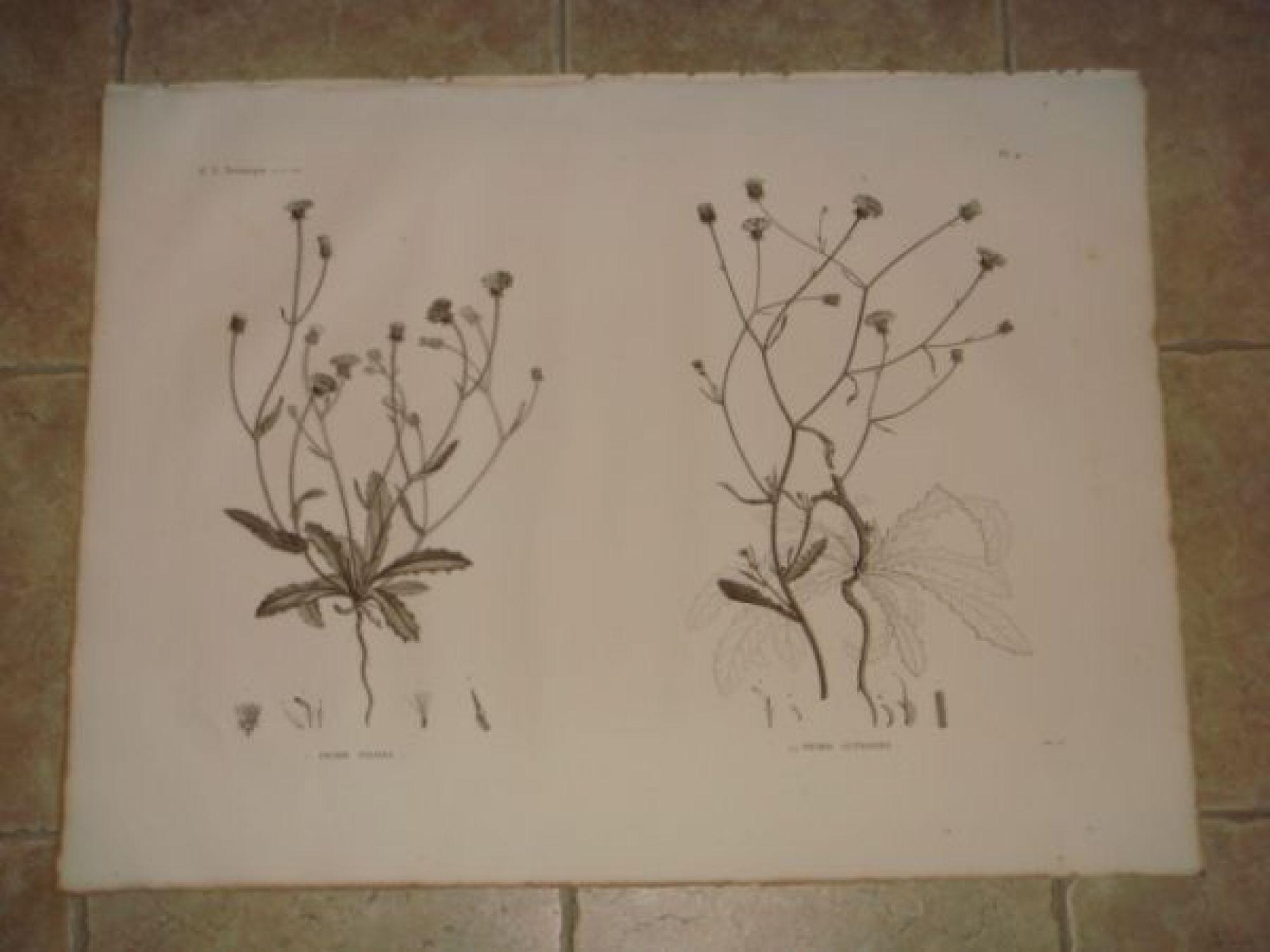 description de l 39 egypte botanique picris pilosa picris altissima histoire naturelle. Black Bedroom Furniture Sets. Home Design Ideas
