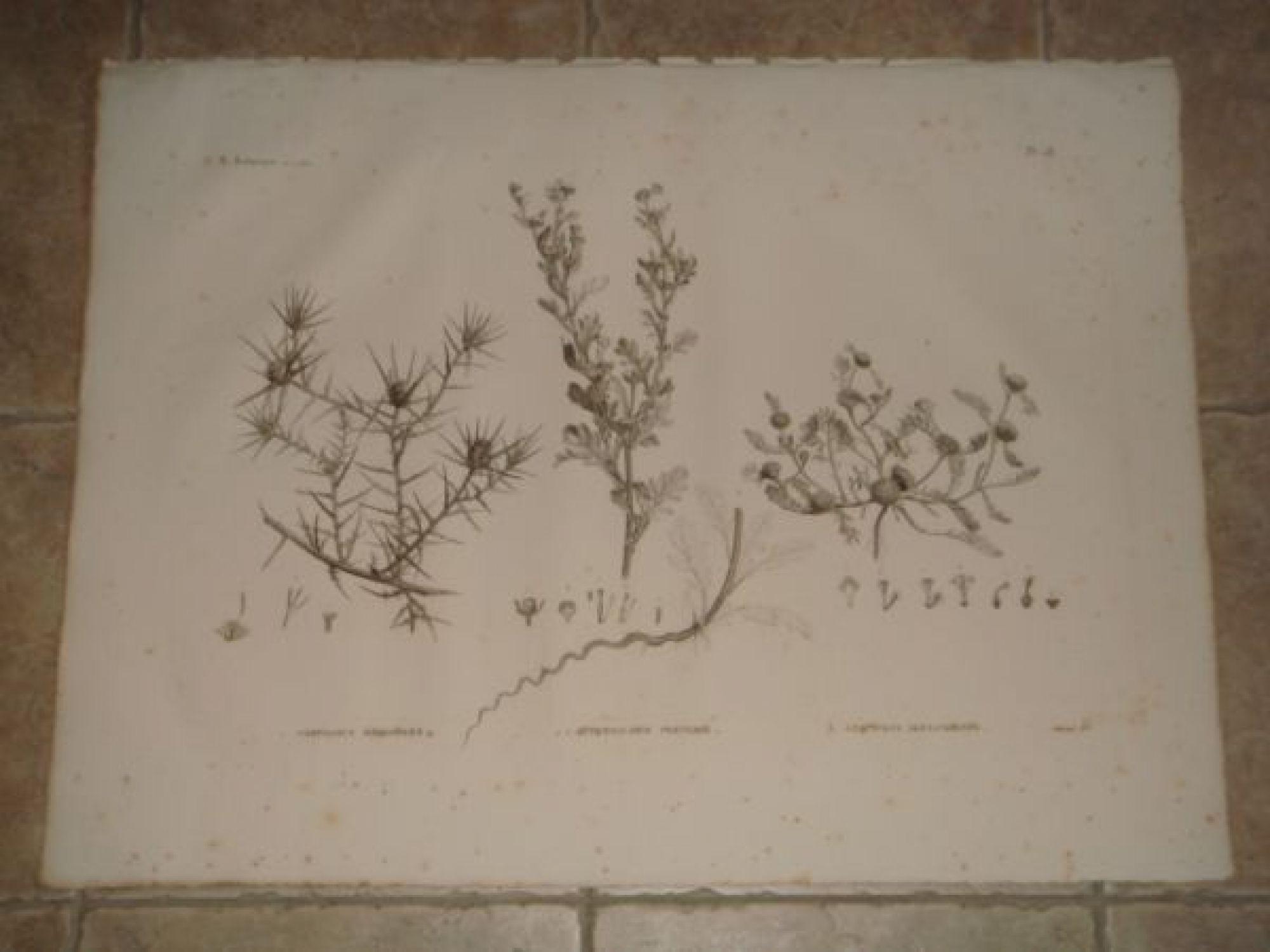 description de l 39 egypte botanique carthamus mareoticus buphtalmum pratense anacyclus. Black Bedroom Furniture Sets. Home Design Ideas