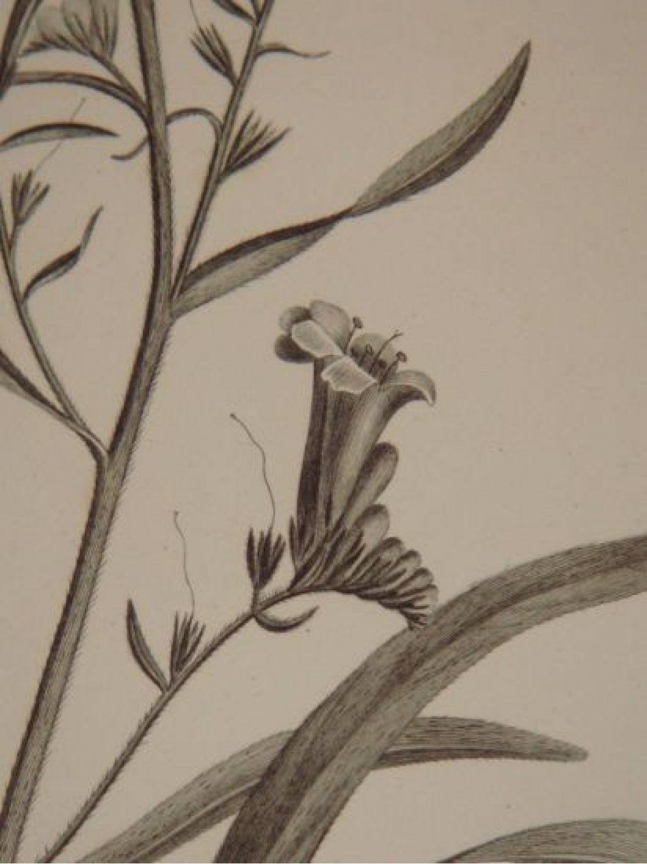 description de l 39 egypte botanique heliotropium lineatum lithospermum callosum echium. Black Bedroom Furniture Sets. Home Design Ideas