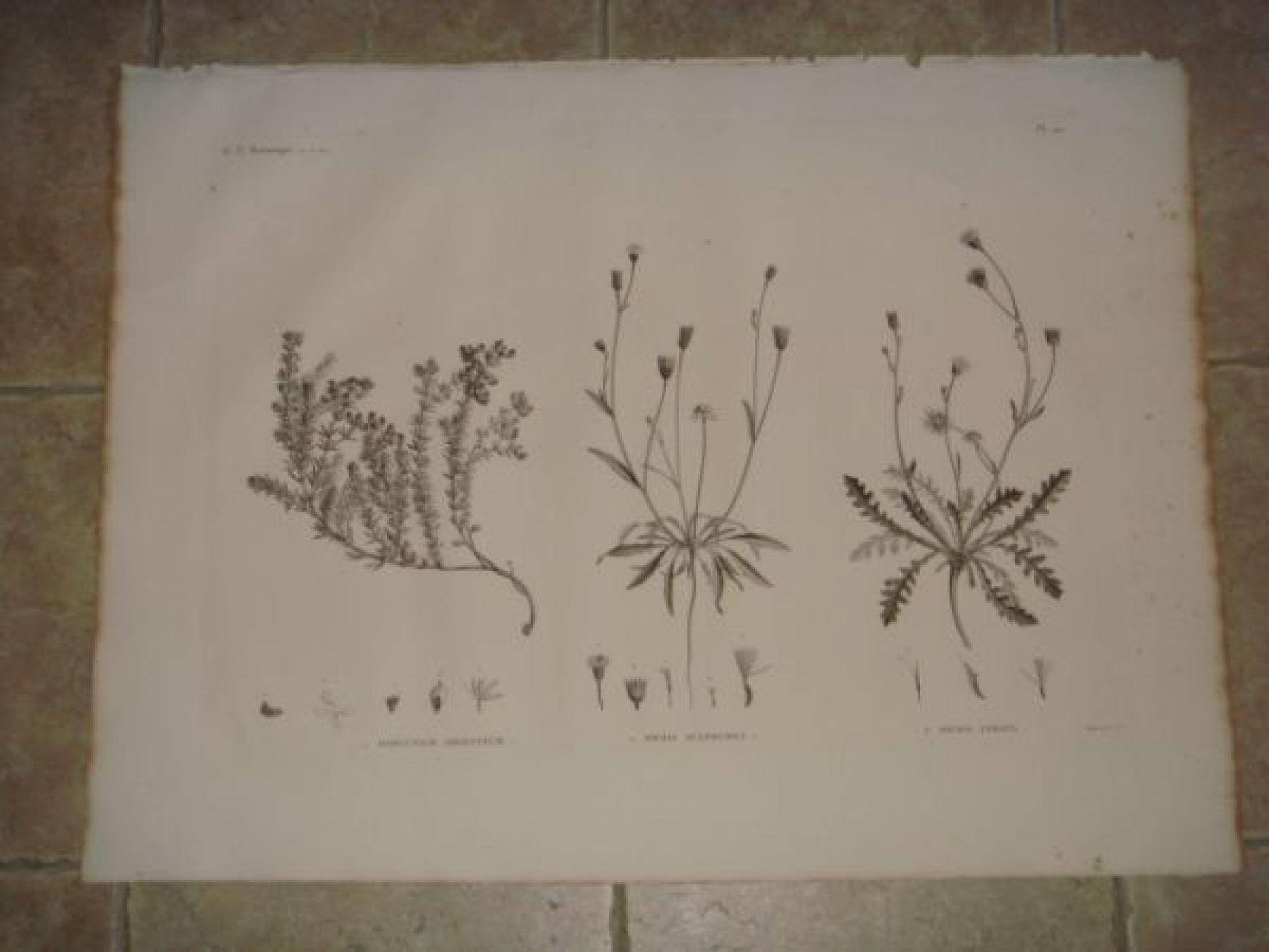 description de l 39 egypte botanique dorycnium argenteum picris sulphurea picris lyrata. Black Bedroom Furniture Sets. Home Design Ideas