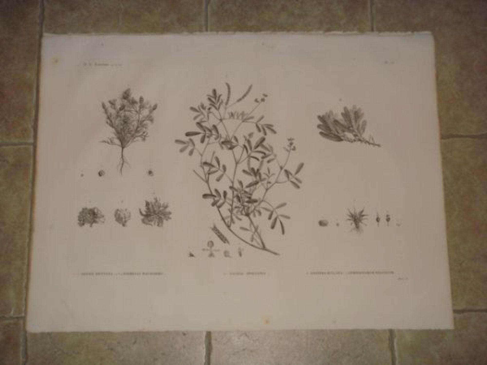description de l 39 egypte botanique adonis dentata parmelia maciformis galega apollinea. Black Bedroom Furniture Sets. Home Design Ideas