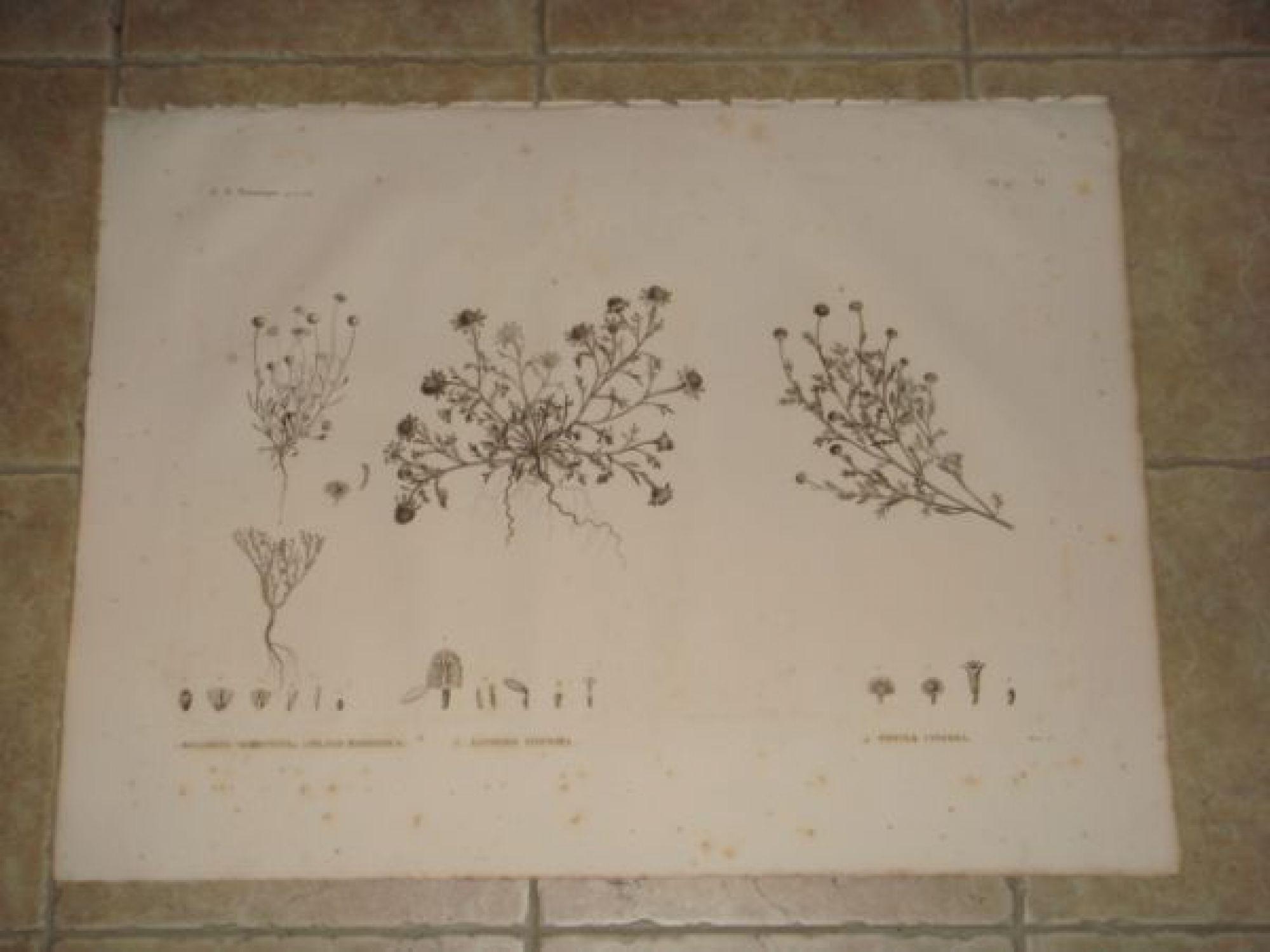 description de l 39 egypte botanique balsamita tridentata filago mareotica anthemis indurata. Black Bedroom Furniture Sets. Home Design Ideas