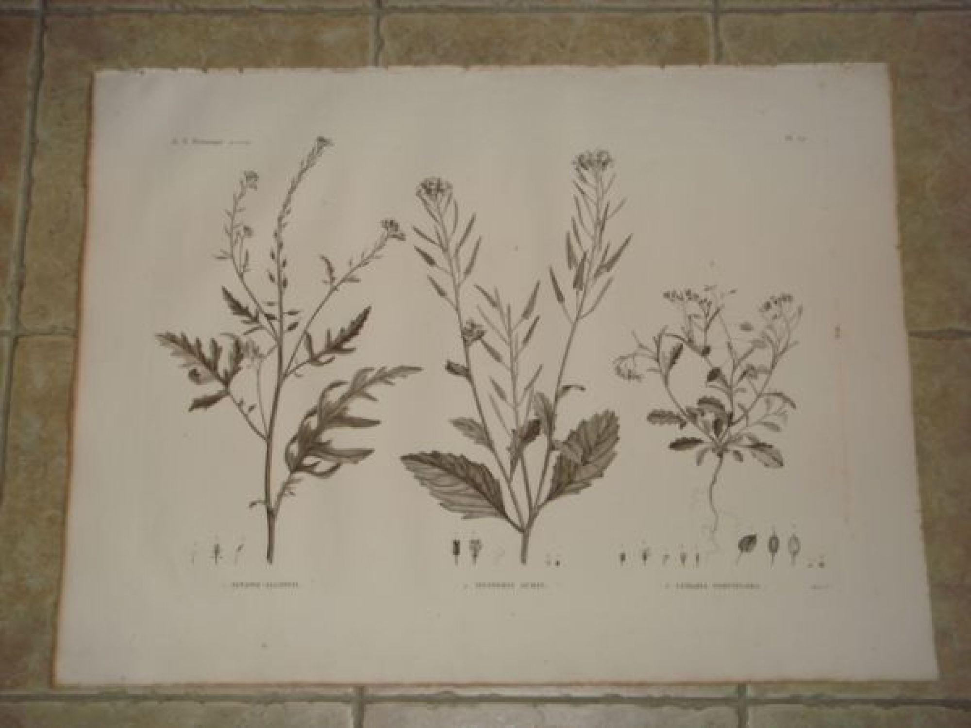 description de l 39 egypte botanique sinapis allionii hesperis acris lunaria parviflora. Black Bedroom Furniture Sets. Home Design Ideas