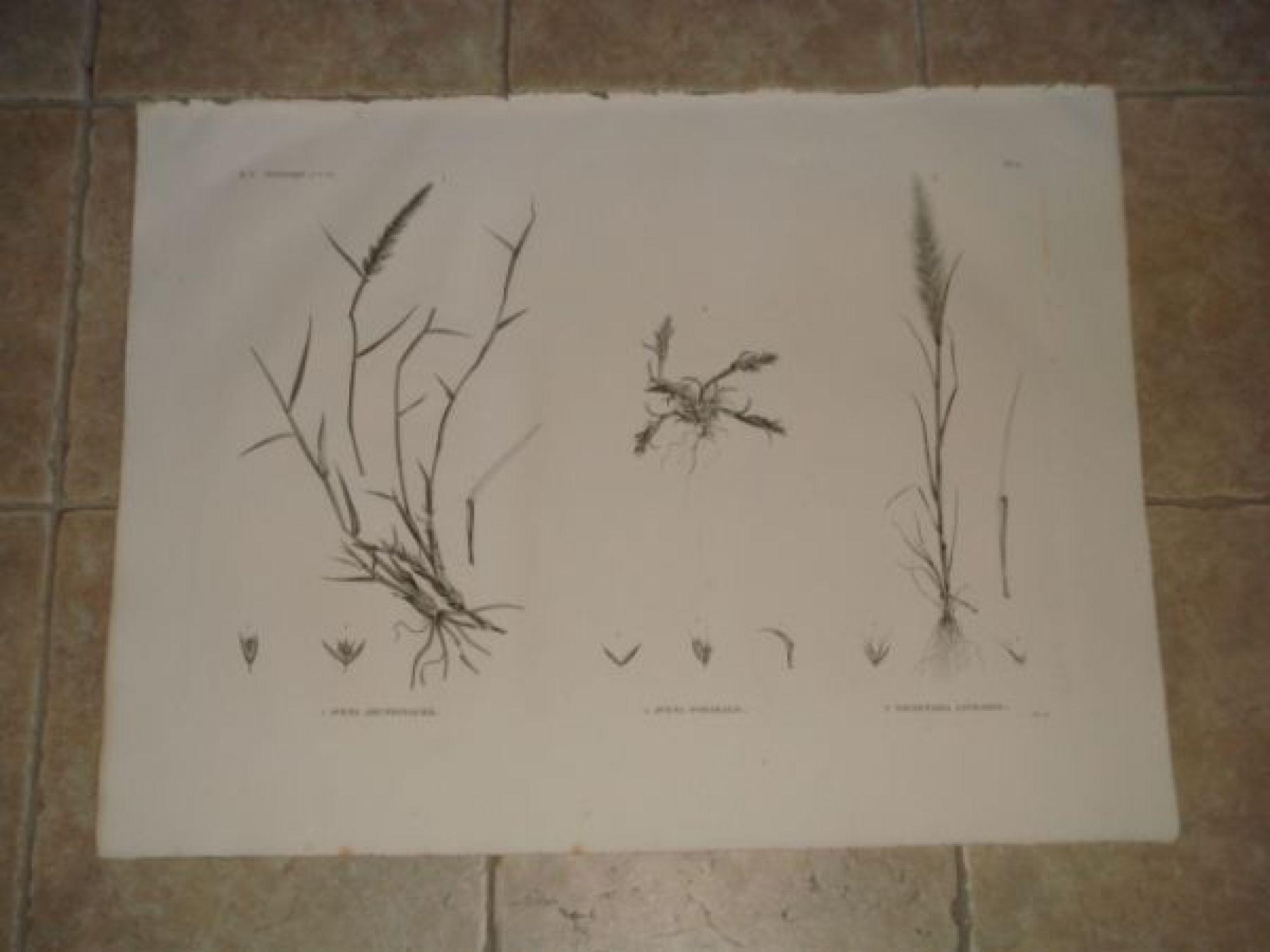 description de l 39 egypte botanique avena arundinacea avena forskalii trisetaria linearis. Black Bedroom Furniture Sets. Home Design Ideas