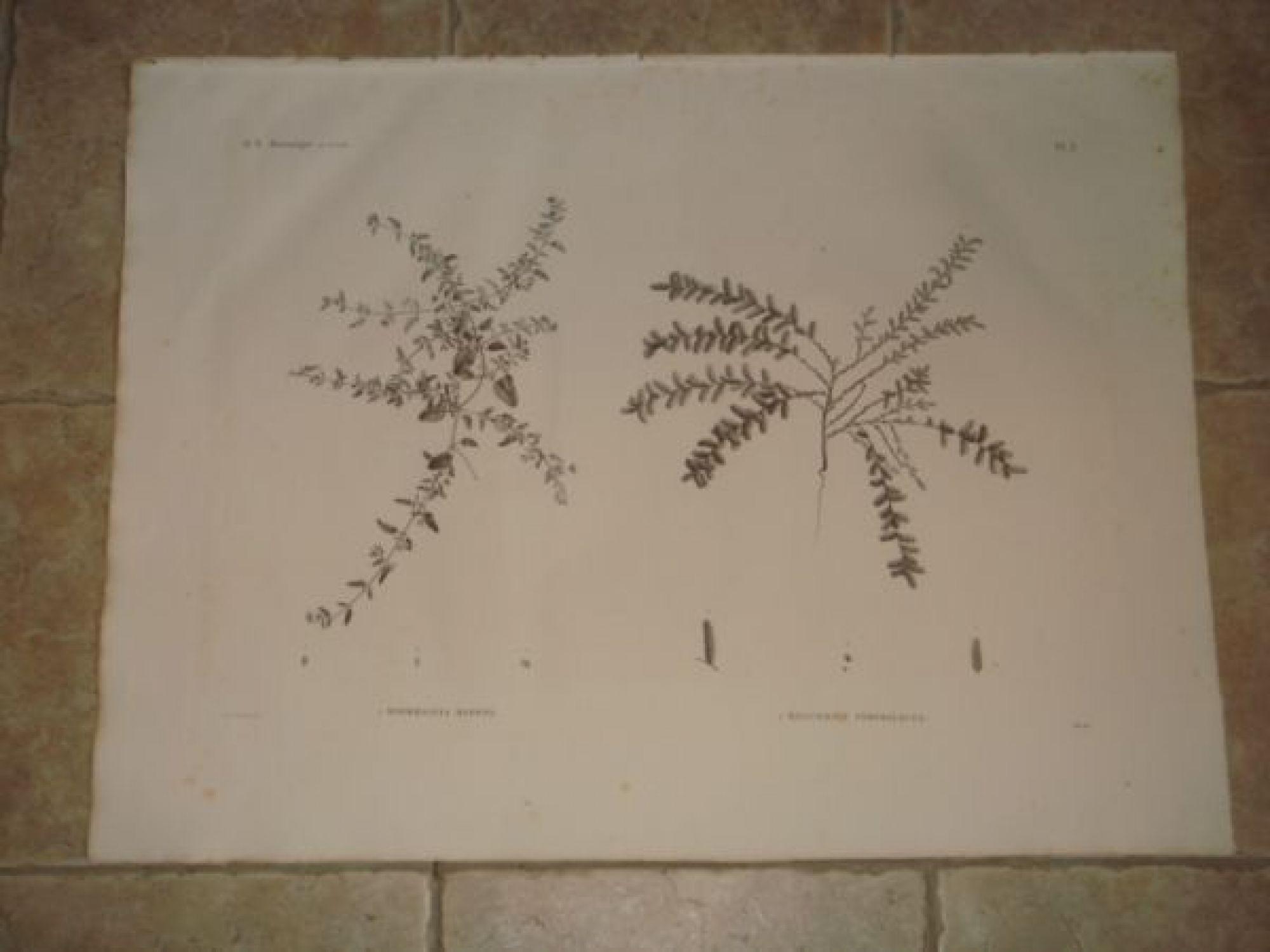 description de l 39 egypte botanique boerhaavia repens salicornia srobiliacea histoire. Black Bedroom Furniture Sets. Home Design Ideas