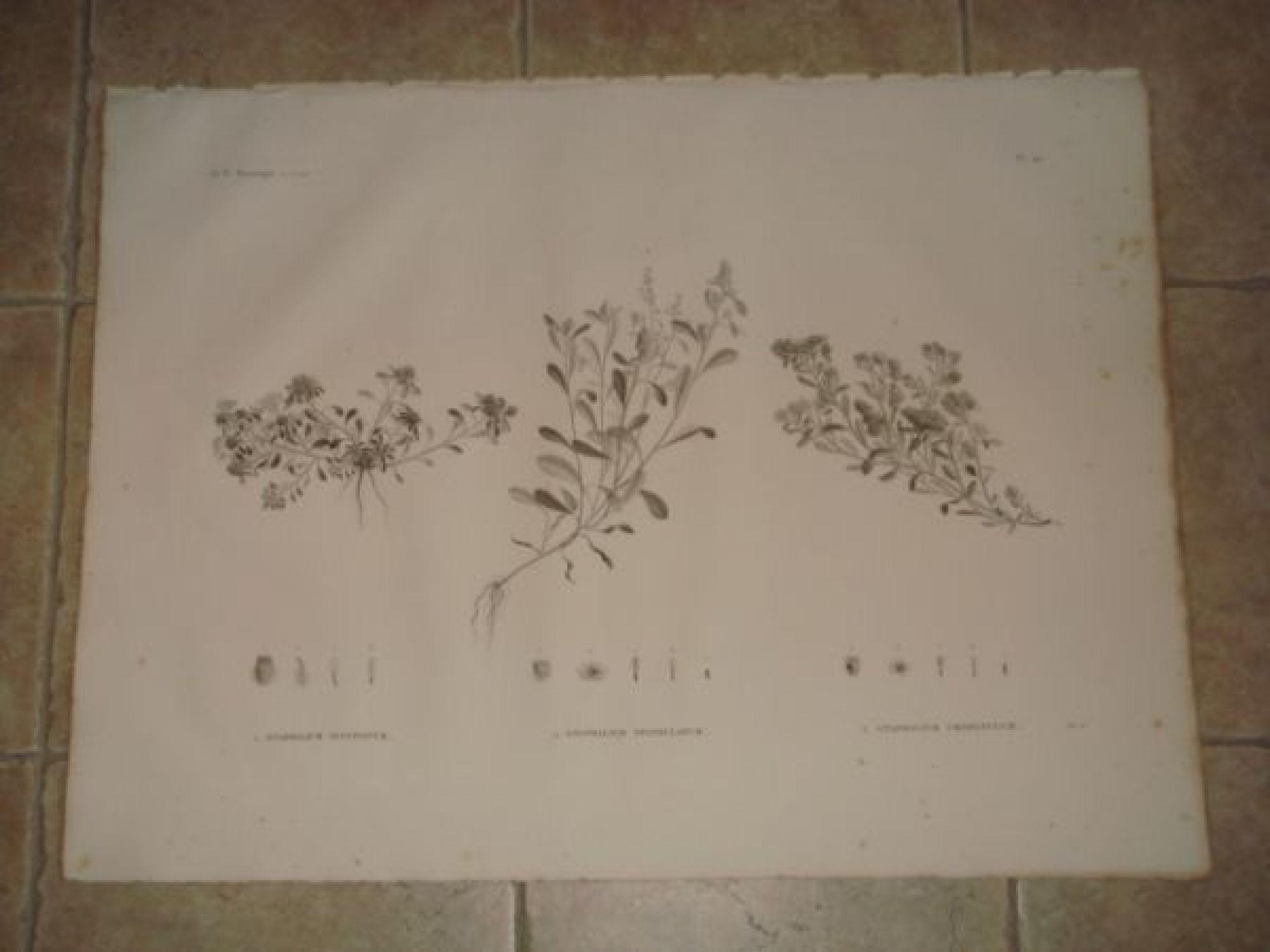 description de l 39 egypte botanique gnaphalium pulvinatum gnaphalium spathulatum gnaphalium. Black Bedroom Furniture Sets. Home Design Ideas