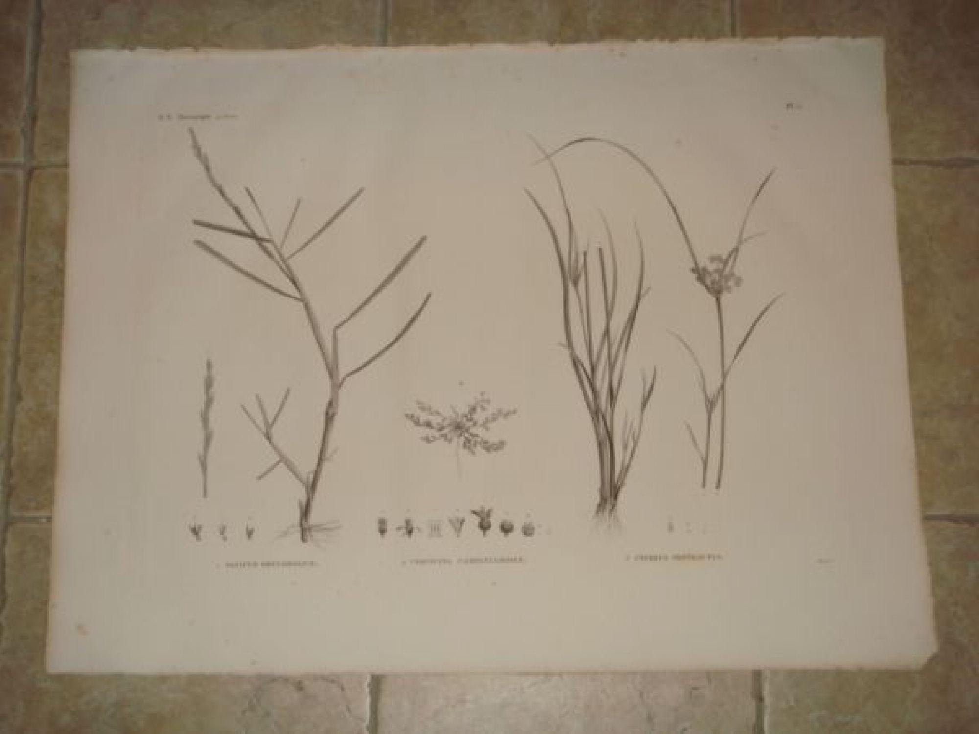 description de l 39 egypte botanique panicum obtusifolium cervicina campanuloides cyperus. Black Bedroom Furniture Sets. Home Design Ideas