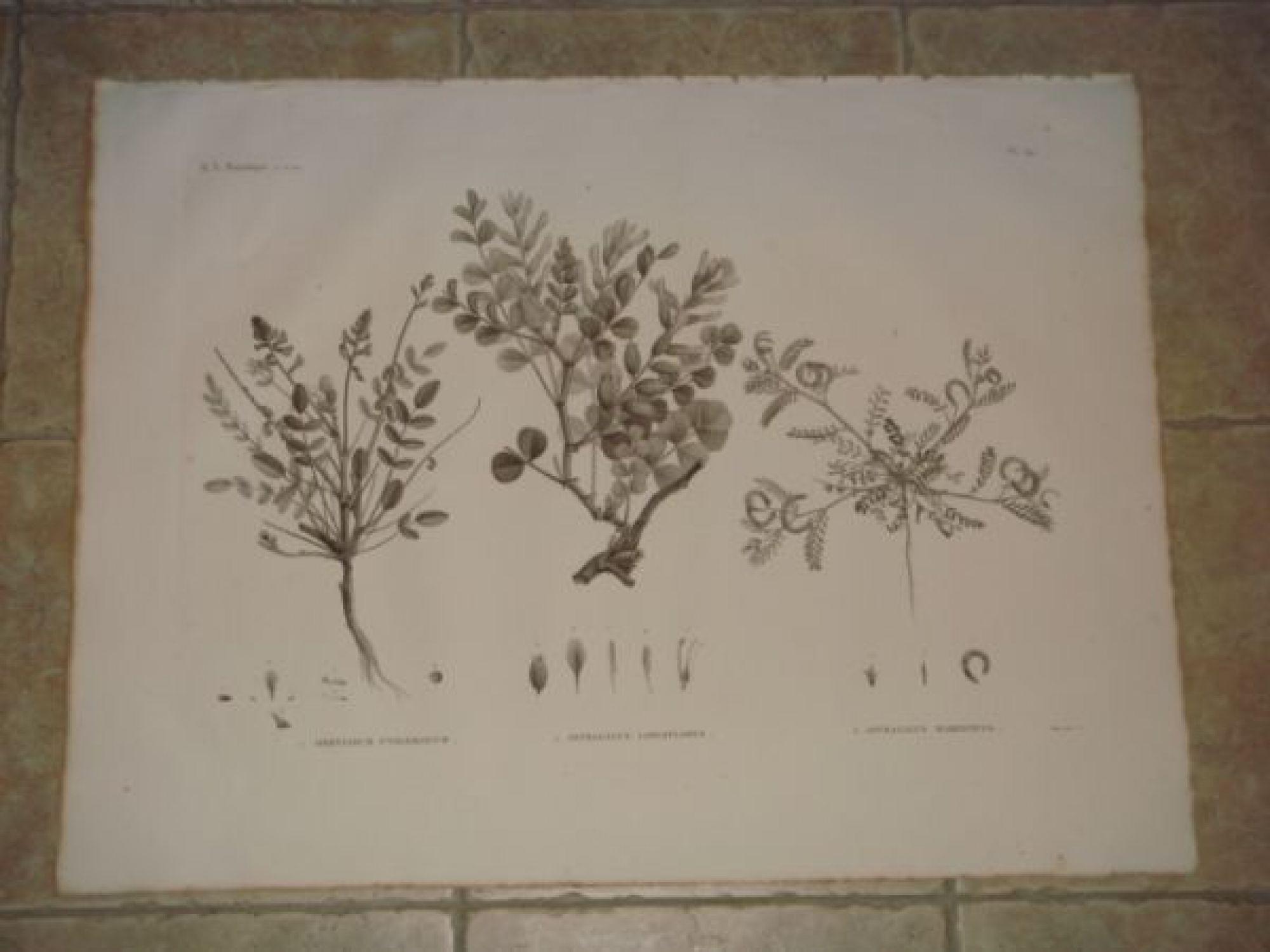 description de l 39 egypte botanique hedysarum ptolemaicum astragalus longiflorus astragalus. Black Bedroom Furniture Sets. Home Design Ideas