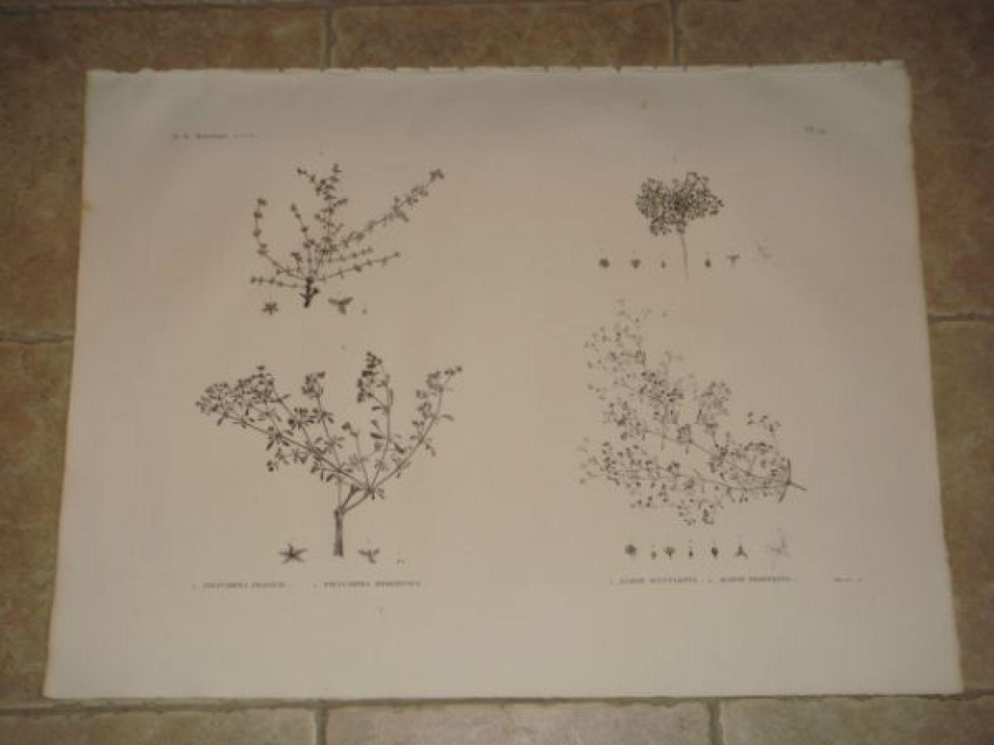 description de l 39 egypte botanique polycarpea fragilis polycarpea memphitica alsine. Black Bedroom Furniture Sets. Home Design Ideas